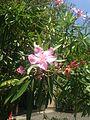 Flower of nerium oleander in Hakozaki Campus, Kyushu University.jpg