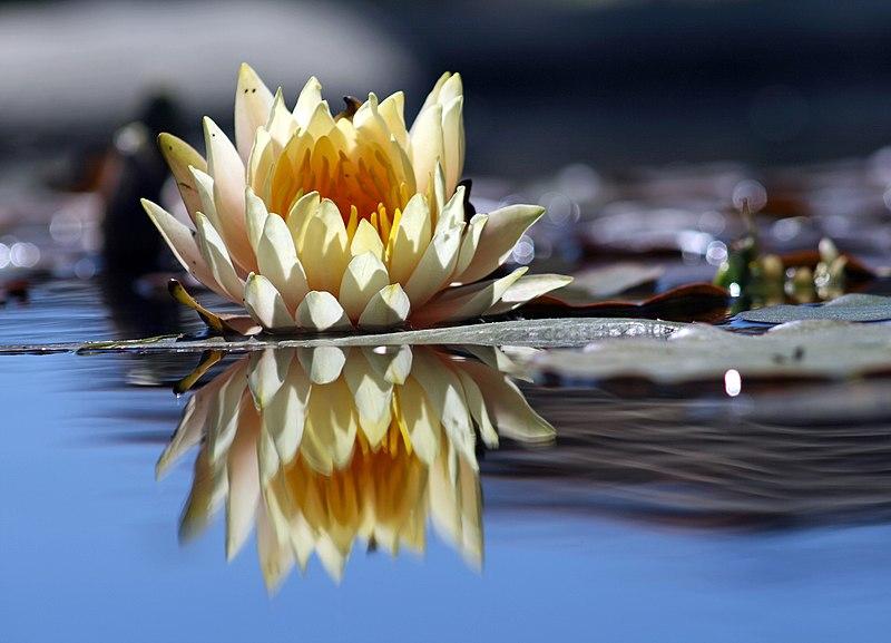 File:Flower reflection.jpg