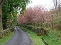 Flowering cherry trees - geograph.org.uk - 1275717.jpg