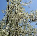 Flowering tree Summit NJ near school.JPG