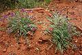 Flowers; Climbing up to Angels Landing (Zion National Park) (3443195569).jpg