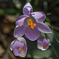 Flowers Sweden March 2015 07.jpg