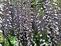 Flowers of wisteria in Kawachi Wisteria Garden 20150509.JPG