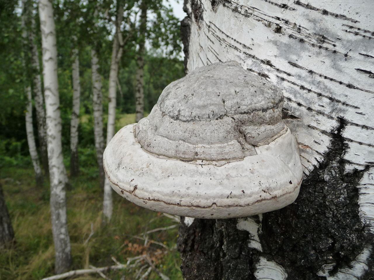 трутовый гриб настоящий