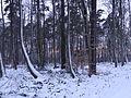 Forêt de La Londe-Rouvray sous la neige.JPG