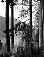 Forested area near the Qui Si Sana Sanatorium and Biological Institution overlooking Lake Crescent, 1913 (WASTATE 1588).jpeg