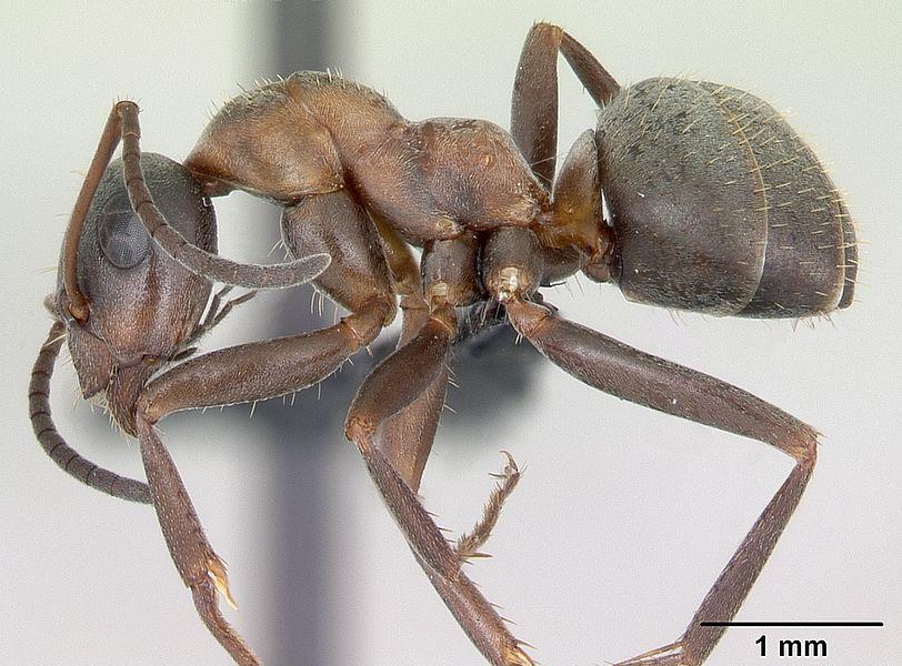 Profile view of ant Formica rufibarbis specimen casent0173870.