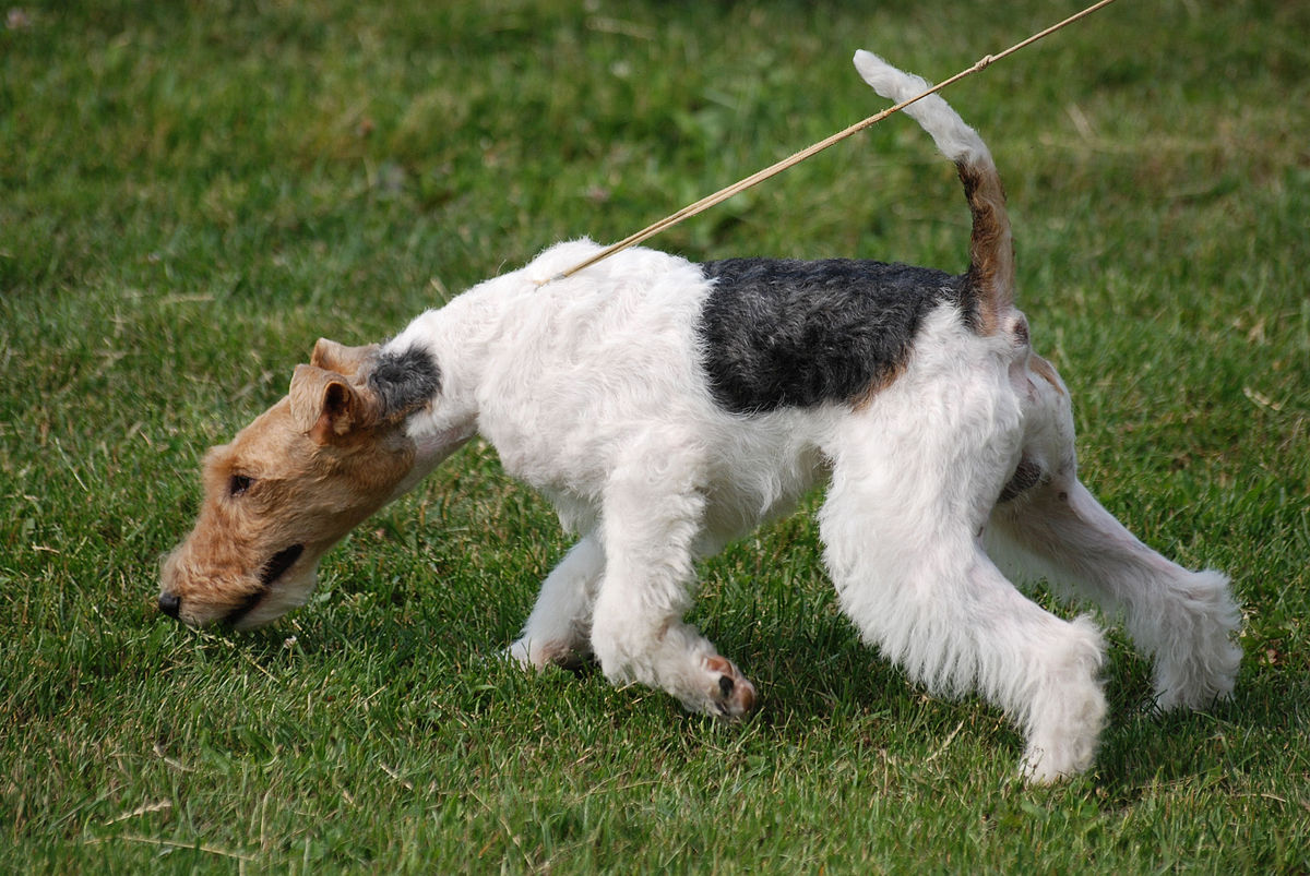 Fox Terrier - Wikimedi...