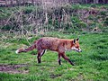 Fox at British Wildlife Centre - geograph.org.uk - 1784463.jpg