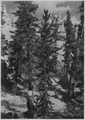 Foxtail Pine. Fine specimen at bottom of Bryce Canyon. Very common in Bryce. - NARA - 520301.tif