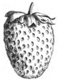 Fraise Elton improved Vilmorin-Andrieux 1883.png