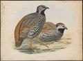 Francolinus lathami - 1848- - Print - Iconographia Zoologica - Special Collections University of Amsterdam - UBA01 IZ17100085.tif