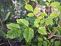 Fraxinus ornus (subsp. ornus) sl4.jpg