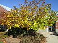 Fringe Tree in Autumn.JPG
