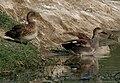 Gadwall (Anas strepera) near Hodal W IMG 6437.jpg