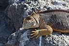 Galapagos land iguana 04.jpg
