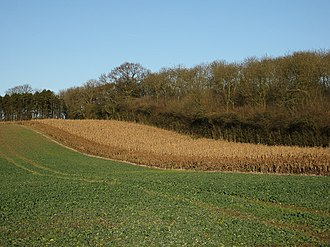 Hunting and shooting in the United Kingdom - Cover crops such as maize are planted in strips to provide forage and shelter for game birds during the winter months