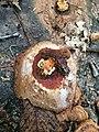 Ganoderma sessiliforme Murrill 815532.jpg
