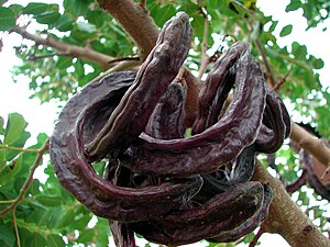 A picture of 'Carob pods', as the ones fed to the pigs in Luke 15