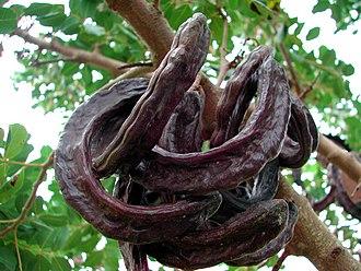 Ceratonia siliqua - C. siliqua, ripe carob fruit pods