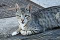 Gato (4782040764).jpg
