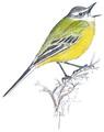 Gele kwikstaart Motacilla flava Jos Zwarts 4.tif