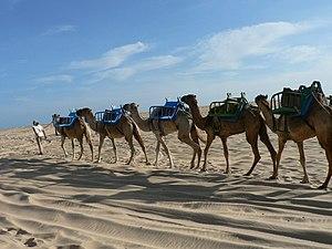 Genipabu - Dromedary camel in Genipabu.