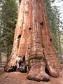 GiantSequoiaTrunk.JPG