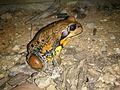 Giant Banjo Frog (Limnodynastes interioris) photographed in Wagga Wagga, NSW.jpg