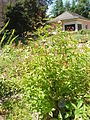 Gillenia trifoliata1.jpg