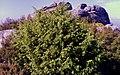 Ginepro rosso (Juniperus oxycedrus) Monte di Cote - Elba.jpg