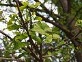 Ginkgo biloba (Poltava Botanical garden).jpg