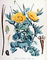 Glaucium luteum — Flora Batava — Volume v14.jpg