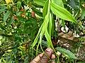 Gloriosa superba, Glory Lily, Gloriosa lily, climbing lilly. Kaithonni.jpg