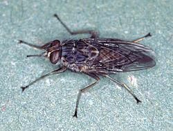 Glossina morsitans, foto:Wikipedia