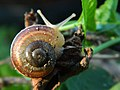 Golden Ratio on a snail shell.jpg
