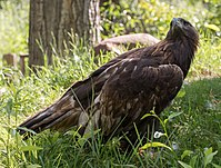Golden eagle at ACES (11814).jpg