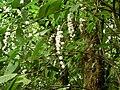 Gonzalagunia rosea Costa Rica.jpg