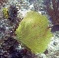 Gorgonia flabellum, S. Salvador.jpg