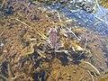 Granota entre el Prat Fondal i l'estany Mal P1300529.jpg