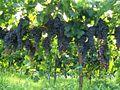 Grapes MaliGarden.jpg
