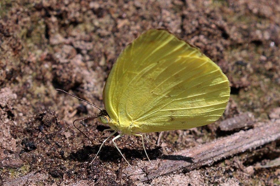 Grass yellow (Eurema venusta)