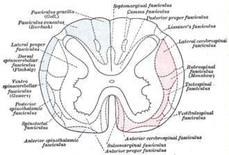 Spinothalamic tract - Diagram of the main tracts within the spinal cord - spinothalamic fasciculus is labelled at bottom left