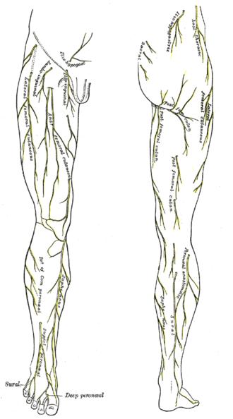 Ilioinguinal nerve - Image: Gray 825and 830