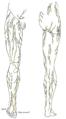 Иннервация кожи нижних конечностей
