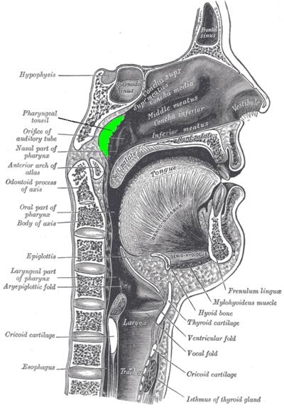 Amígdala faríngea - Wikiwand