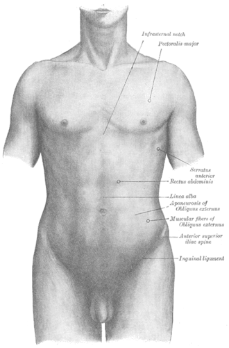 Inguinal ligament - Inguinal ligament is labeled at bottom right.