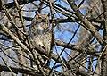 Great-horned owl at Minnesota Valley National Wildlife Refuge (30810296683).jpg