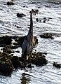 Great Blue Heron (7154761420).jpg