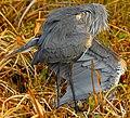 Great Blue Heron at Lake Woodruff National Wildlife Refuge - Andrea Westmoreland (6).jpg